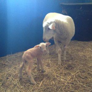 1609-first-lamb-4