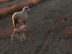1610-lamb-1-7